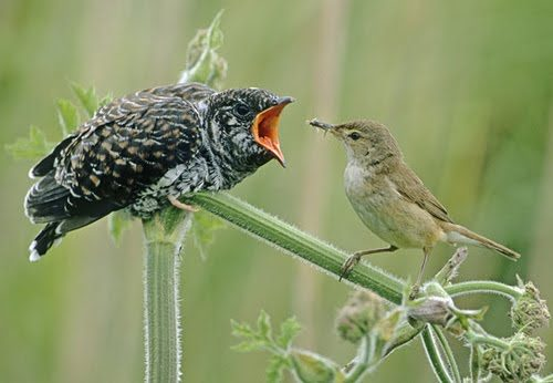 """This cuckoo chick, left, has parasitized its reed warbler """"parent,"""" right. Whites have also been parasitized, on many levels."""