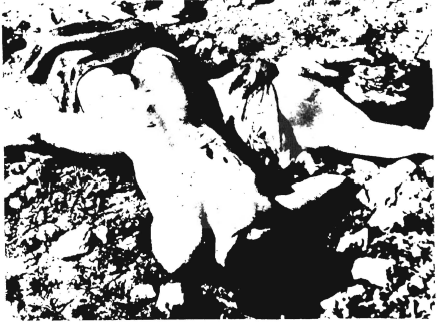 Nazi concentration-camp victims? No, these are the corpses of Arab villagers butchered by Jewish terrorists at Deir Yassin.