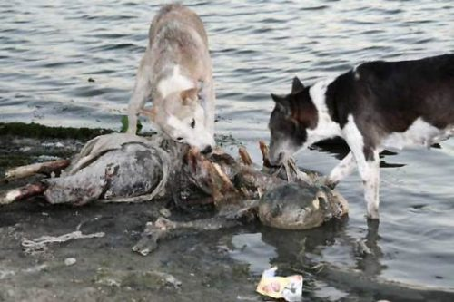 The third step involves wild dogs arriving for some nutritious mystery meat; likely replete with joyful vitamins.