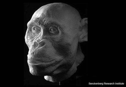 """""""Mrs Ples"""" -- Australopithecus africanus"""