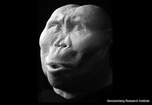"""""""Zinj"""" -- Paranthropus boisei"""