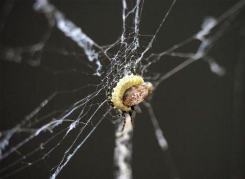 wasp-parasite-spider