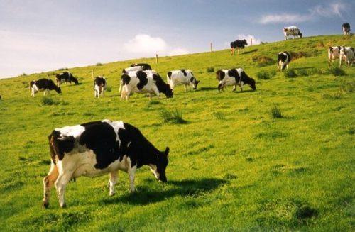 cowsinireland-568x372